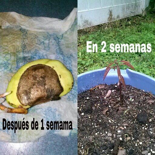Germinación de Mango.    1. Después que se coma el mango, colóque la pepa (semilla) en un lugar soleado y que pueda secarse sin problemas, por uno o dos dias.   2. Luego corta al rededor con mucho cuidado de no dañar la pepa interior, cortando solo en la linea al rededor.   3. Con un cuchillo trate de depegarles para sacar la semilla.   4. Depues coloquequela en un envase con agua por 24 horas.  5. Cuando ya la saque la envolverá en una servilleta humeda (no mojada) y la pondra en un…