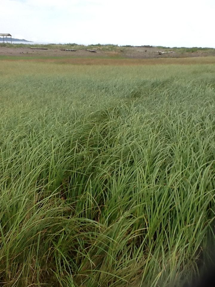 Grass on partridge island parsborro