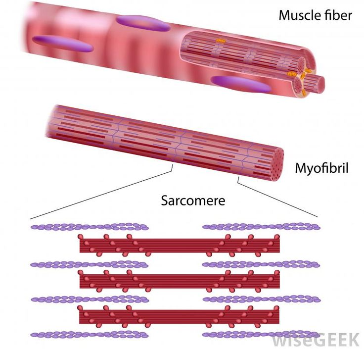 A striated muscle is one composed of thousands of distinct bands. There are two types of striated muscle: skeletal muscle and...