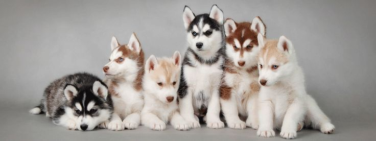 The full spectrum of husky colors. Some day I would love to have a Husky!