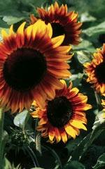 firecracker sunflower - Annual