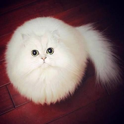 He's like a fluffy white snowball. <3 (with eyes and a tail)