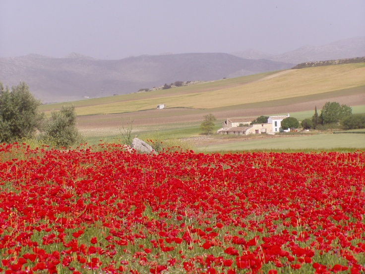 May 2012. Fields covered with poppies. Picture taken in Alhama de Granada on guided walking holiday with:  www.alhambrarambler.com