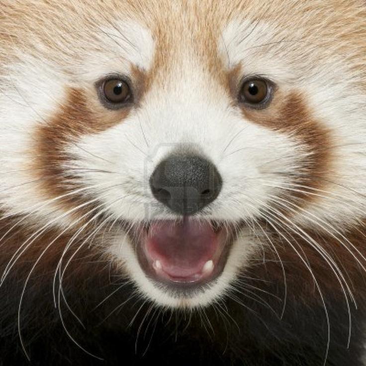 Close-up Van Jonge Rode Panda Of Shining Kat, Ailurus Fulgens, 7 Maanden Oud Royalty-Vrije Foto, Plaatjes, Beelden En Stock Fotografie. Image 8651643.