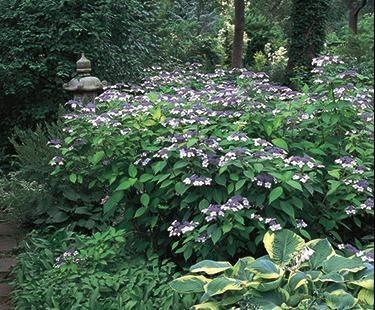 Mountain Hydrangea | Bloom IQ
