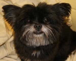 Coco Belle is an adoptable Pomeranian Dog in Bellevue, WA. Coco Belle is a beautiful 8-year-old Pomeranian/Shih Tzu mix. She has a fluffy black coat that you just can't help but pet! She is a little s...