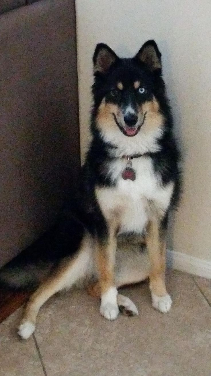 husky collie mix | Smooth Collie Husky Mix Meet blue. my 1 year old border collie/husky ...