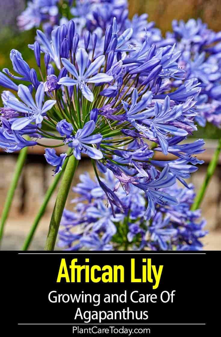 Agapanthus Blue How To Care For African Lily Of The Nile Agapanthus Plant Agapanthus African Lily