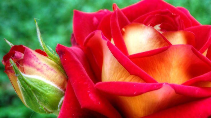 Rose by Lorena Georgiana Craia