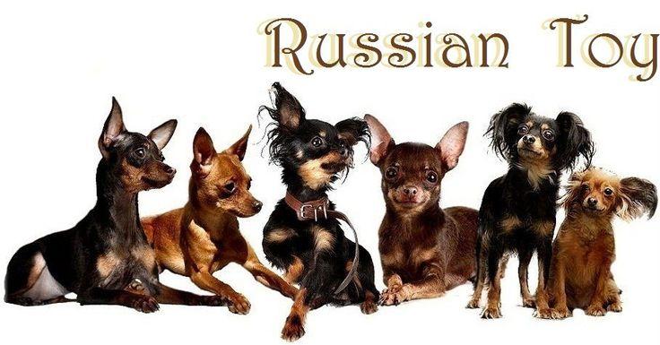 русский той терьер