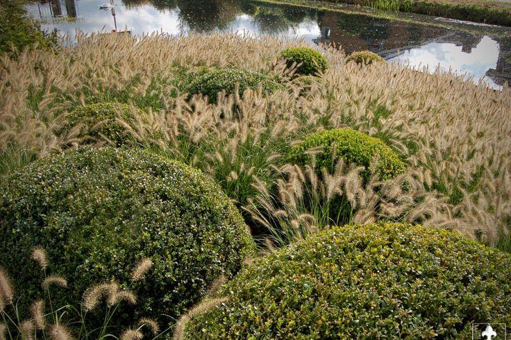 Buxus bollen gecombineerd met Pennisetum alopecuroides 'Hameln' geven het hele jaar door een andere twist door de groei