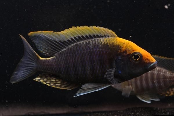 Pin On Cichlids African