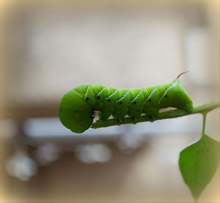 How to identify, control, and get rid of tomato hornworms. Tips from The Old Farmer's Almanac.