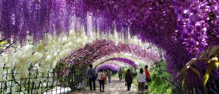 westeria flower kawachi-fuji-garden-kitakyushu-japan