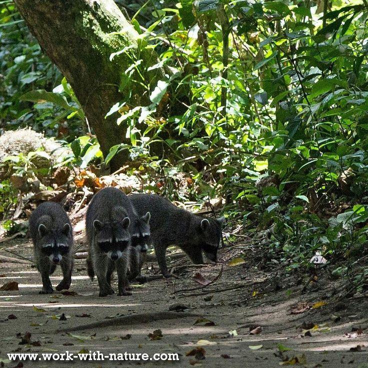 Mapaches (racoons) at Cahuita National Park Costa Rica  #CostaRica #Cahuita #Regenwoud #jungle #natuurfoto #lovenature