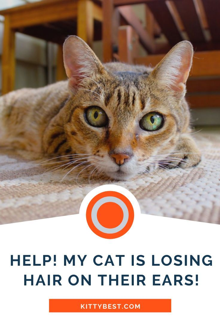 Help My Cat Is Losing Hair On Their Ears 12 Causes Solutions Cat Hair Loss Lost Hair Cats