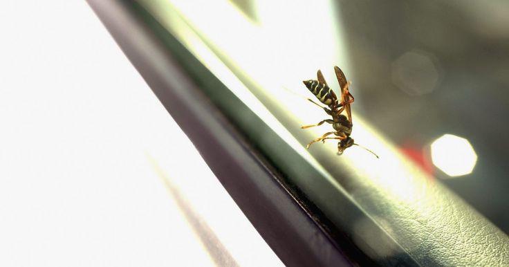 Como matar grandes vespas negras. A grande vespa preta (espécie Sphex pensylvanicus) é útil para matar outros insetos incômodos, como gafanhotos, grilos, besouros, aleluias e cigarras. Amantes de insetos as consideram muito bonitas com seus corpos pretos e longos com 2,5 a 5 cm de comprimento e asas pretas e azuis iridescentes. Pelo fato destas vespas causarem picadas muito ...