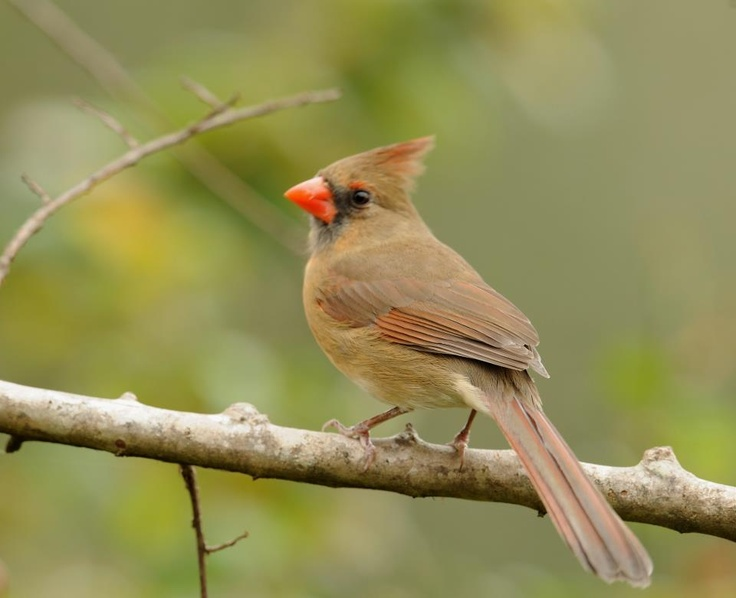 21 Best Images About Birds Of North Carolina On Pinterest