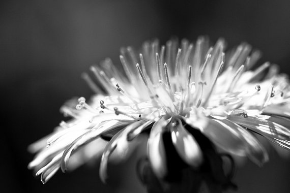 Black and White Photo of Dandelion  Fine Art Photo by CarlaDyck