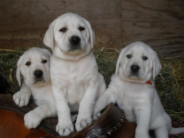 English Labrador retrievers. I got to see one of these today. Now I want one.