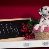Dalmatian puppy for sale in KENT, OH. ADN-57107 on PuppyFinder.com Gender: Female. Age: 10 Weeks Old