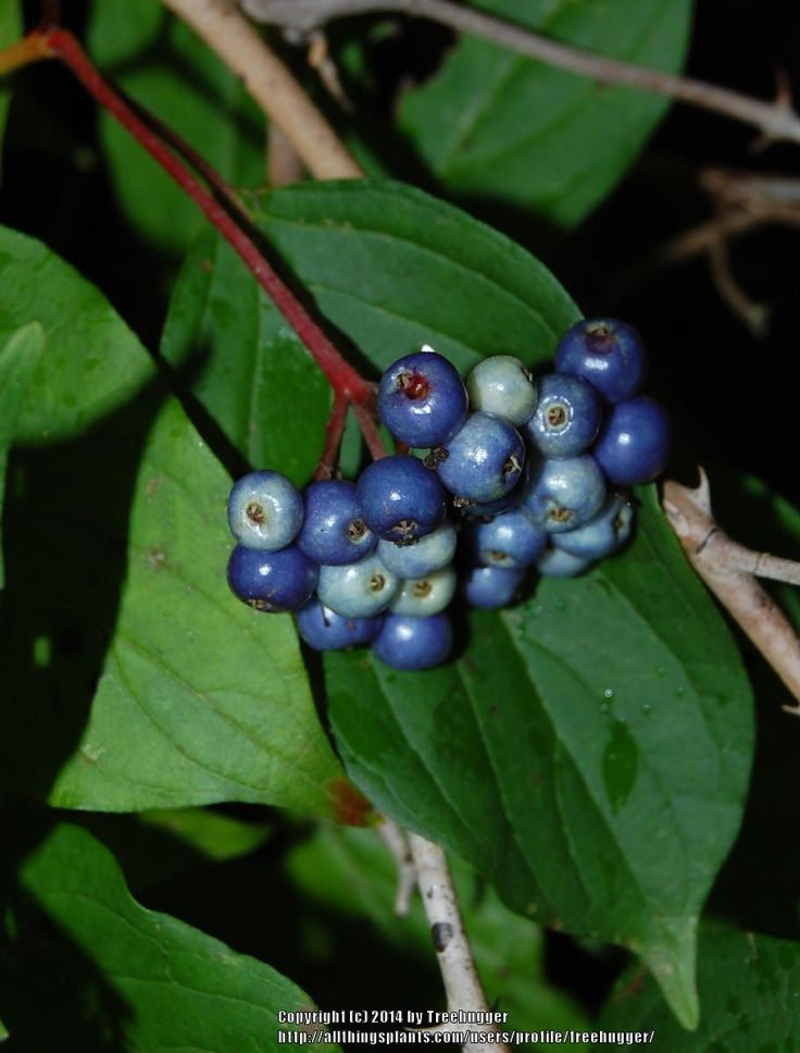 Photo of Silky Dogwood (Cornus amomum) uploaded by treehugger