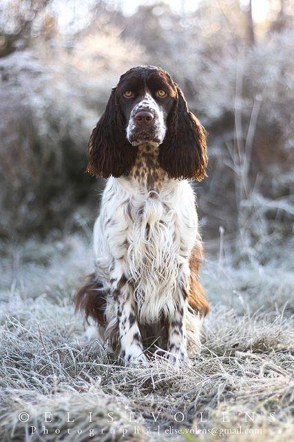 English Springer Spaniel Hunting 236 best Englis...