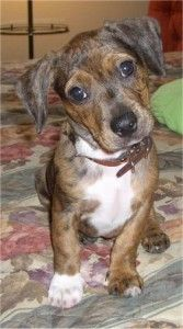 Boston Terrier Dachshund mix  Its a baby Patchy! Awww!