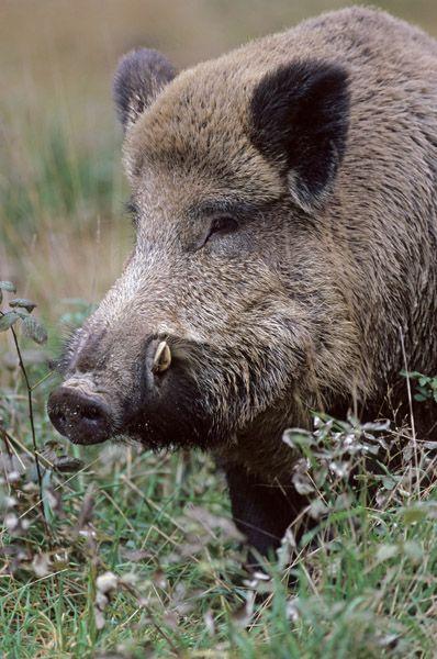 Wildschweinkeiler im Portraet - (Schwarzkittel - Wildschwein), Sus scrofa, Wild Boar tusker in portrait - (Wild Boar - European Boar)