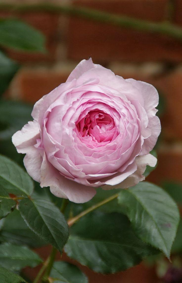 99 best images about rose on pinterest garden roses. Black Bedroom Furniture Sets. Home Design Ideas