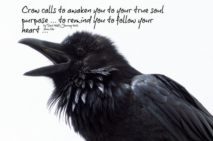 funny crow - Google Search
