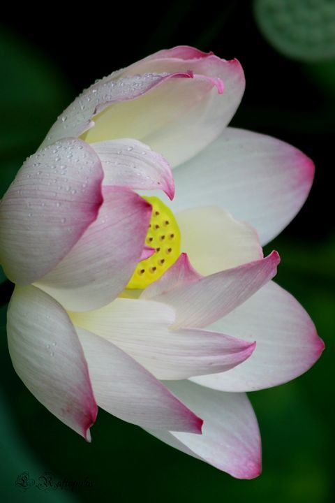 Lotus flower with raindrops - Laureenr