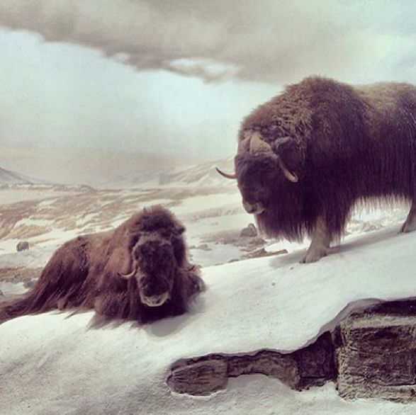 Musk oxen on Ellesmere Island, Canada, hunker down to wait out a snowstorm. This diorama is located in the Hall of North American Mammals. (at American Museum of Natural History)