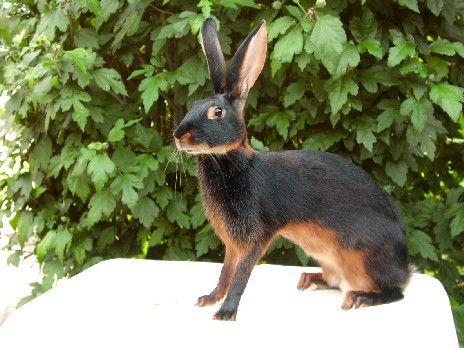 25+ best ideas about Breeds of rabbits on Pinterest ...   464 x 348 jpeg 38kB