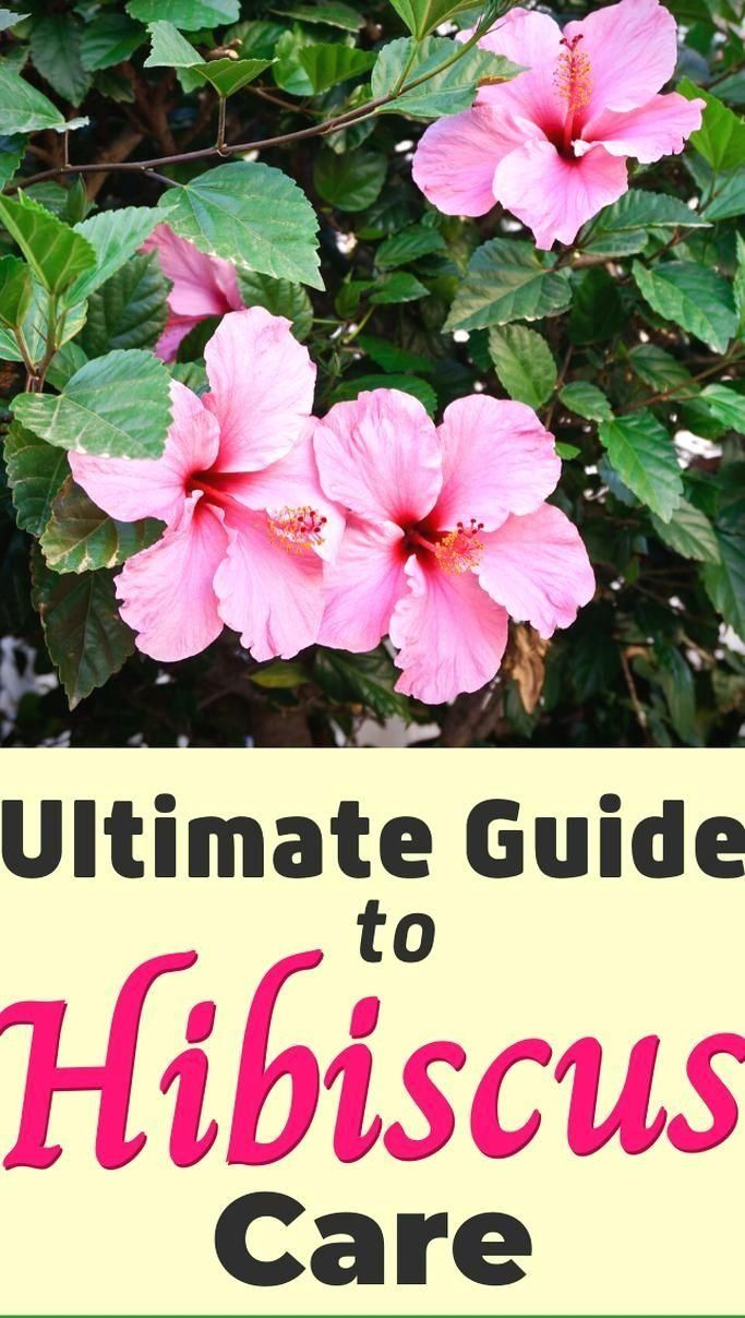 Learn How To Care For Hibiscus Plants With This Ultimate Guide To Hibiscus Care 1000 In 2020 Growing Hibiscus Hibiscus Plant Hibiscus Garden