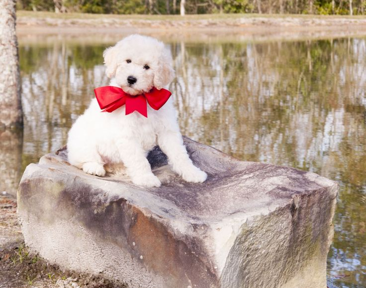 Article on Goldendoodle's Temperaments in stages | Teddybear Goldendoodles