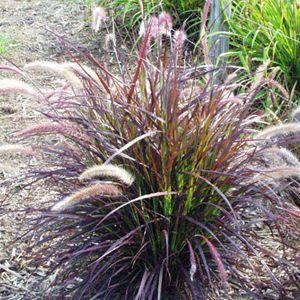 404 best images about grasses on pinterest for Large grasses for landscaping
