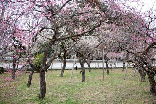 Plum 弘道館のウメ kodokan plum ウメ 梅 弘道館 水戸 mito prunusmume バラ科 rosaceae 春 spring flower plant