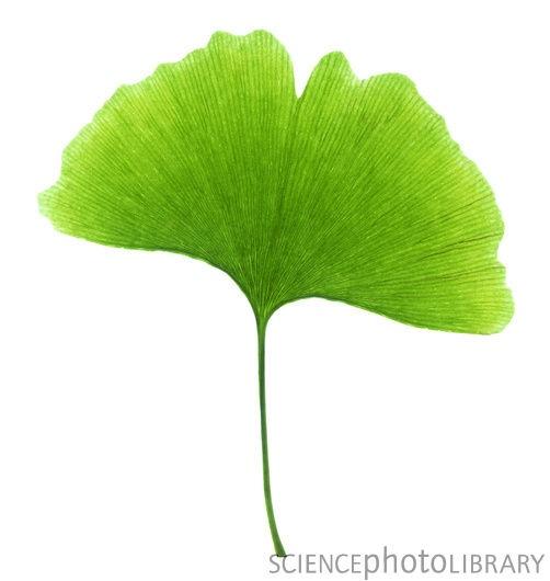 http://www.sciencephoto.com/image/17589/530wm/B5000370-Ginkgo_leaf-SPL.jpg