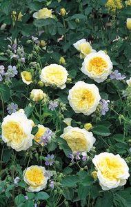 The Pilgrim - David Austin Roses