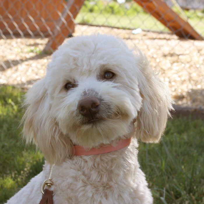 About Mini Doodle Dogs --- Mini Labradoodles, & Teacup