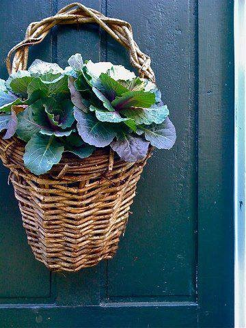cabbage growing in basket (1) Grow Food, Not Lawns