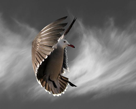 Bird Photography, Hover with Cirrus Clouds, Heermann's Gull, Limited Edition Photography Bird Art Print, 11 x 14, Fine Art Photography on Etsy, $175.00