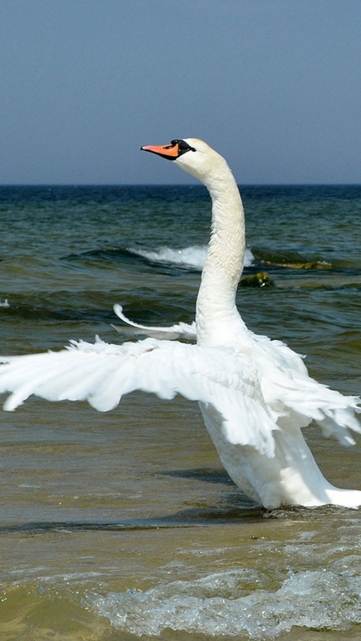 Water fowl - Swan flight.