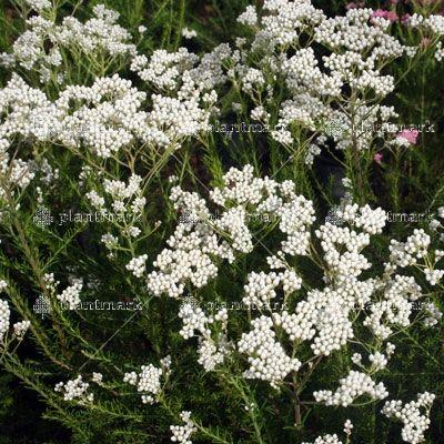 Ozothamnus Springtime White