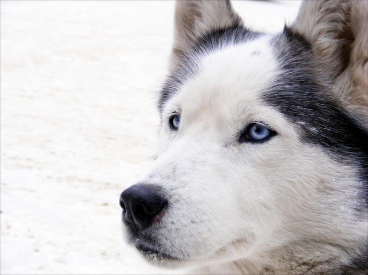 38 best images about Huskies!! :) on Pinterest   Siberian ...
