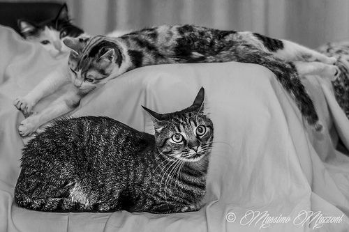 famiglia felina - ® Massimo Mazzoni www.facebook.com/lefotografiedimassimo
