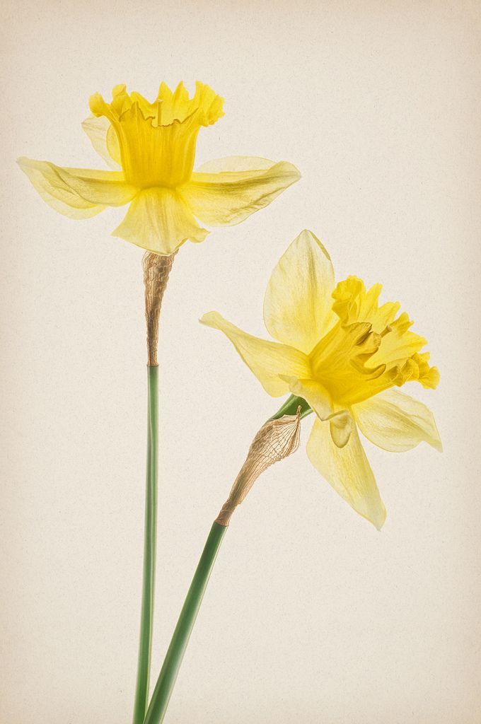 daffodil bouquet drawing - Google Search