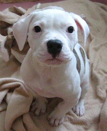 american-bulldog-puppies-cute.JPG 377×461 pixels