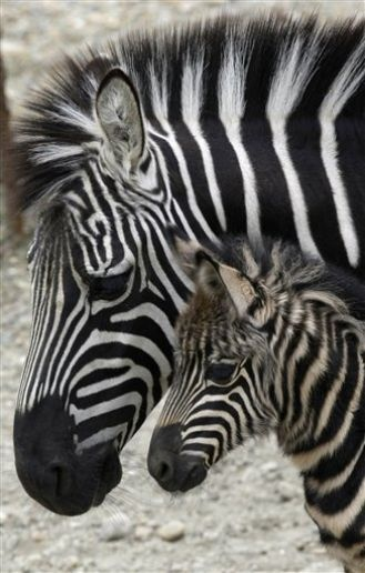 so , are they black with white stripes, or white with black stripes? Always wondered....